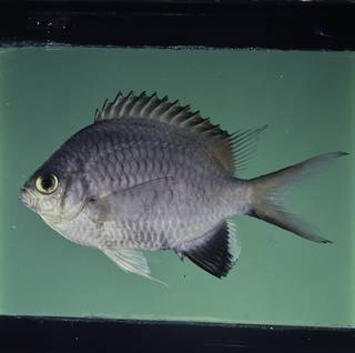 To NMNH Extant Collection (Chromis nigroanalis FIN032312 Slide 120 mm)