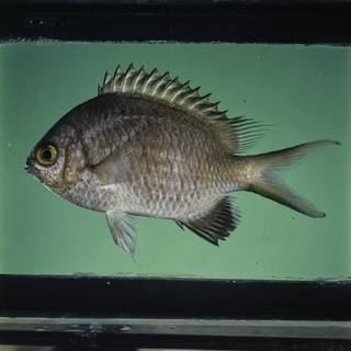 To NMNH Extant Collection (Chromis nigroanalis FIN032313 Slide 120 mm)