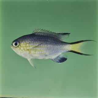 To NMNH Extant Collection (Chromis nigrura FIN032314 Slide 120 mm)