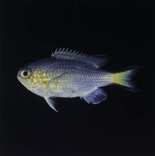 To NMNH Extant Collection (Chromis nigrura FIN032314B Slide 120 mm)