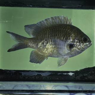 To NMNH Extant Collection (Chromis notata FIN032320 Slide 120 mm)