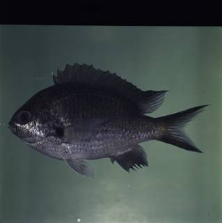 To NMNH Extant Collection (Chromis notata FIN032321 Slide 120 mm)