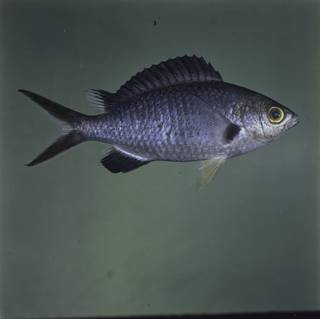 To NMNH Extant Collection (Chromis pamae FIN032334 Slide 120 mm)
