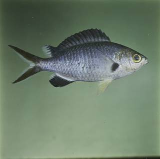 To NMNH Extant Collection (Chromis pamae FIN032334C Slide 120 mm)