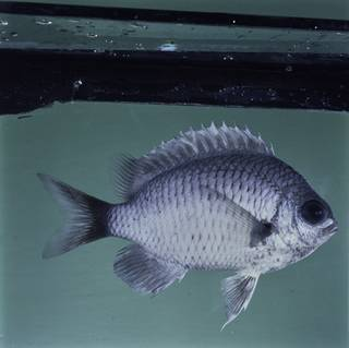 To NMNH Extant Collection (Chromis pelloura FIN032337 Slide 120 mm)