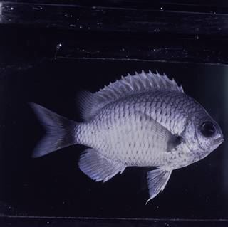 To NMNH Extant Collection (Chromis pelloura FIN032337B Slide 120 mm)