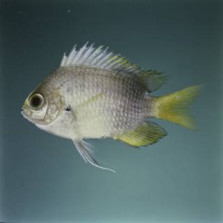 To NMNH Extant Collection (Chromis struhsakeri FIN032341 Slide 120 mm)