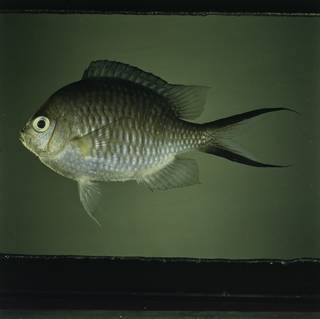 To NMNH Extant Collection (Chromis ternatensis FIN032343 Slide 120 mm)
