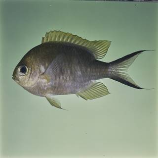 To NMNH Extant Collection (Chromis ternatensis FIN032344 Slide 120 mm)