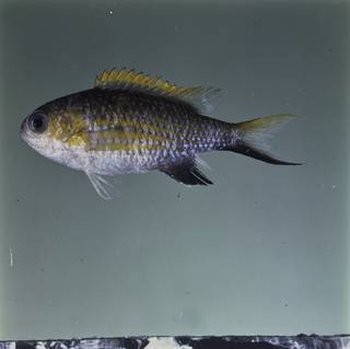 To NMNH Extant Collection (Chromis vanderbilti FIN032347 Slide 120 mm)