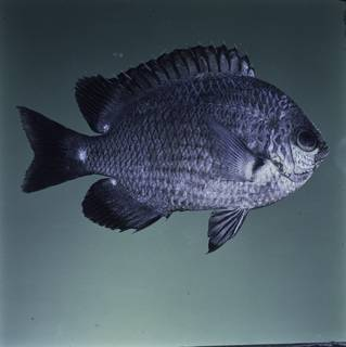 To NMNH Extant Collection (Chromis verater FIN032348 Slide 120 mm)