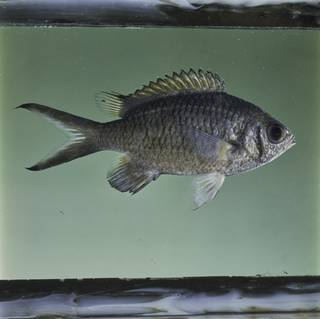To NMNH Extant Collection (Chromis weberi FIN032351 Slide 120 mm)