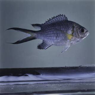 To NMNH Extant Collection (Chromis xanthochira FIN032356 Slide 120 mm)