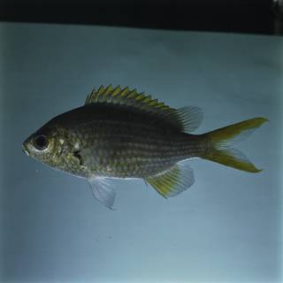 To NMNH Extant Collection (Chromis xanthopterygia FIN032357 Slide 120 mm)