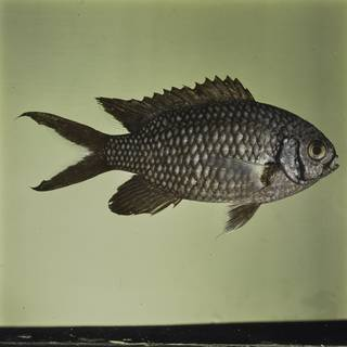 To NMNH Extant Collection (Chromis xanthura FIN032358 Slide 120 mm)
