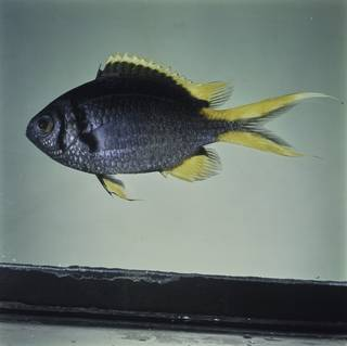 To NMNH Extant Collection (Chromis xanthura FIN032359 Slide 120 mm)