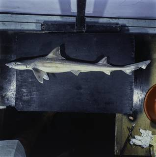 To NMNH Extant Collection (Mustelus FIN034845 Slide 120 mm)