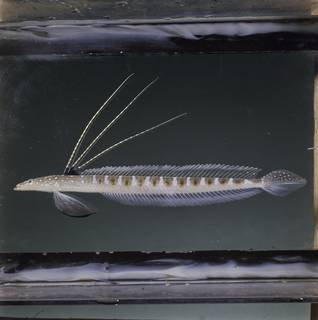 To NMNH Extant Collection (Trichonotus nikii FIN034866 Slide 120 mm)