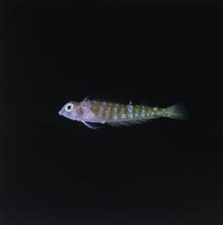 To NMNH Extant Collection (Ceratobregma helenae FIN034883 Slide 120 mm)