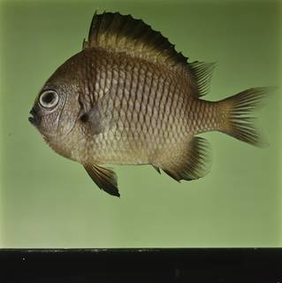 To NMNH Extant Collection (Dascyllus reticulatus FIN032426 Slide 120 mm)