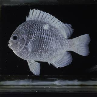 To NMNH Extant Collection (Dascyllus strasburgi FIN032429 Slide 120 mm)