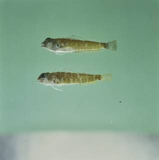 To NMNH Extant Collection (Enneapterygius etheostomus FIN034899 Slide 120 mm)