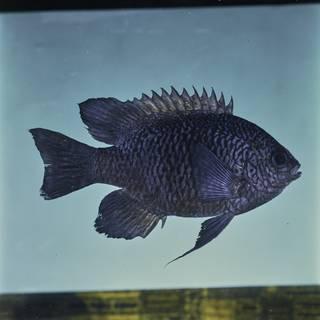 To NMNH Extant Collection (Neoglyphidodon carlsoni FIN032461 Slide 120 mm)