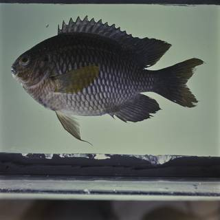 To NMNH Extant Collection (Neoglyphidodon polyacanthus FIN032474 Slide 120 mm)