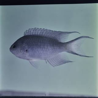 To NMNH Extant Collection (Neopomacentrus filamentosus FIN032490 Slide 120 mm)