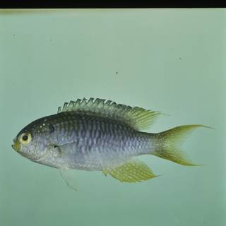 To NMNH Extant Collection (Neopomacentrus nemurus FIN032500 Slide 120 mm)
