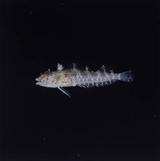 To NMNH Extant Collection (Norfolkia brachylepis FIN034980 Slide 120 mm)