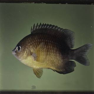 To NMNH Extant Collection (Plectroglyphidodon flaviventris FIN032517 Slide 120 mm)