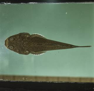 To NMNH Extant Collection (Uranoscopus FIN035002 Slide 120 mm)