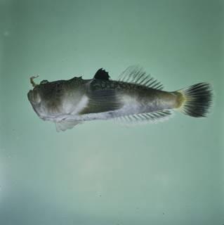To NMNH Extant Collection (Uranoscopus bicinctus FIN035008 Slide 120 mm)