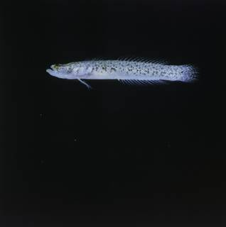 To NMNH Extant Collection (Xenisthmus balius FIN035019 Slide 120 mm)