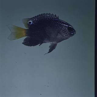 To NMNH Extant Collection (Pomacentrus taeniometopon FIN032629 Slide 120 mm)