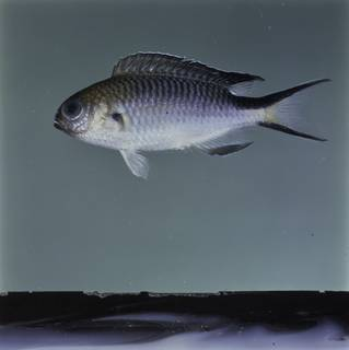 To NMNH Extant Collection (Pomachromis richardsoni FIN032640 Slide 120 mm)