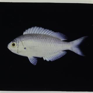 To NMNH Extant Collection (Pristotis obtusirostris FIN032647 Slide 120 mm)