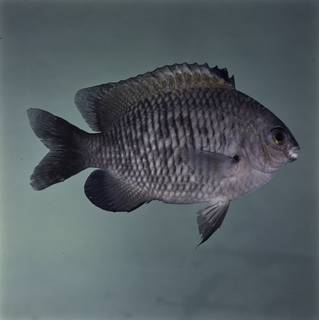 To NMNH Extant Collection (Stegastes fasciolatus FIN032655 Slide 120 mm)