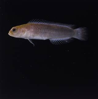 To NMNH Extant Collection (Pseudochromis FIN032748 Slide 120 mm)
