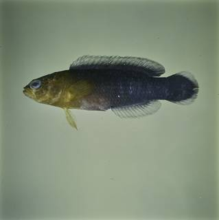 To NMNH Extant Collection (Pseudochromis cyanotaenia FIN032776 Slide 120 mm)