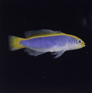 To NMNH Extant Collection (Pseudochromis flavivertex FIN032785 Slide 120 mm)