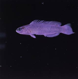 To NMNH Extant Collection (Pseudochromis fridmani FIN032786 Slide 120 mm)