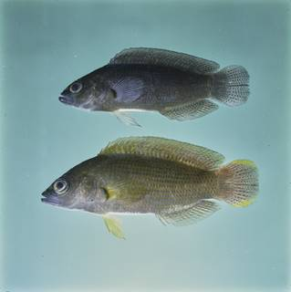To NMNH Extant Collection (Pseudochromis fuscus FIN032788 Slide 120 mm)