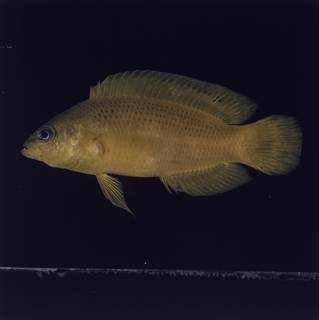 To NMNH Extant Collection (Pseudochromis fuscus FIN032789 Slide 120 mm)