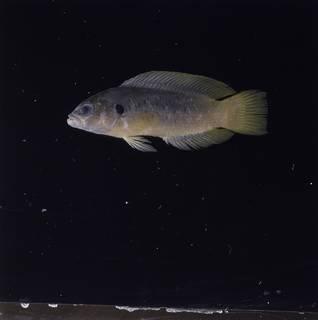 To NMNH Extant Collection (Pseudochromis olivaceus FIN032813 Slide 120 mm)
