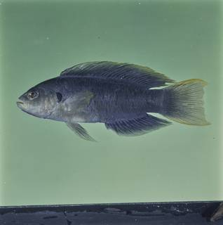 To NMNH Extant Collection (Pseudochromis olivaceus FIN032814 Slide 120 mm)