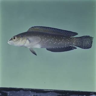 To NMNH Extant Collection (Pseudochromis persicus FIN032818 Slide 120 mm)