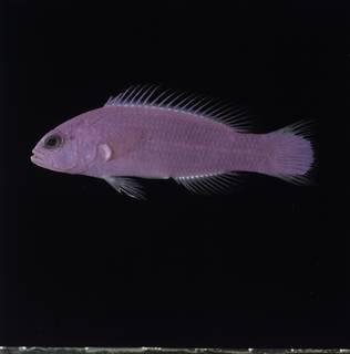 To NMNH Extant Collection (Pictichromis porphyrea FIN032826 Slide 120 mm)