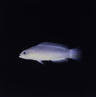 To NMNH Extant Collection (Pseudochromis ransonneti FIN032829 Slide 120 mm)